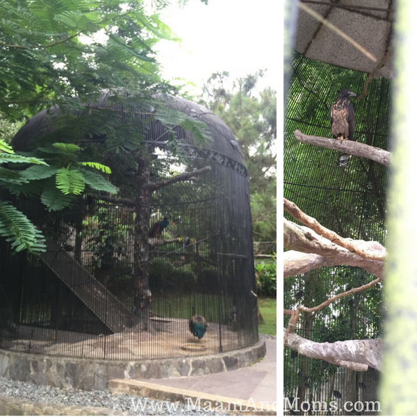 Eagle and peacock at cintai coritos garden